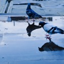 Photograph of pigeons and their reflections in Norwich, Norfolk