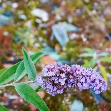 Photograph of flower found on wasteland in Norwich, Norfolk