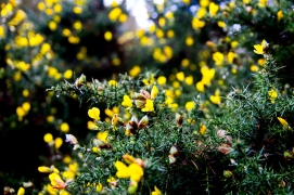 Photograph of guaze bush at Corton beach, Lowestoft Suffolk