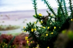 Photograph of gauze bush at Corton beach, Lowestoft Suffolk