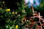 macro (close up) Photograph of gauze bush at Corton beach, Lowestoft Suffolk