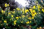 Photograph of gauze bush at Corton beach, Lowestoft Suffolk