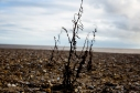 Photograph of weed growing at Corton beach, Lowestoft Suffolk